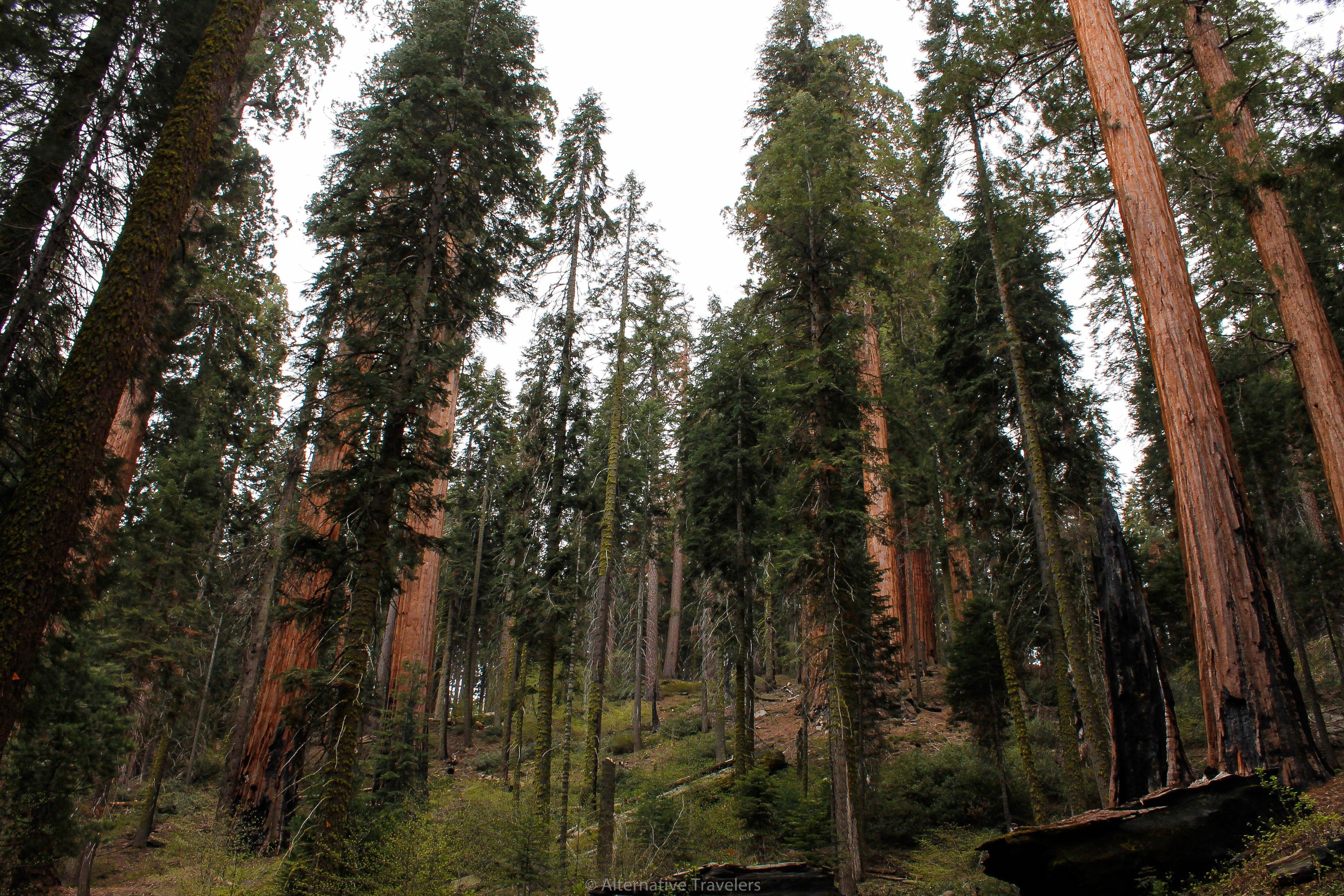 Trees in Sequoia National Park in California, United States - AlternativeTravelers.com