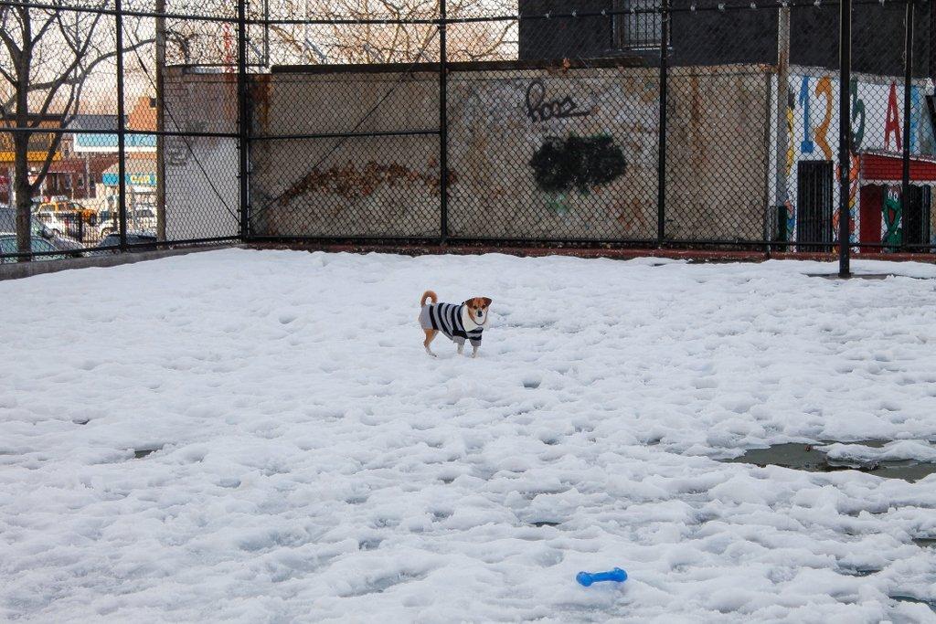 Cinnamon dog in snow